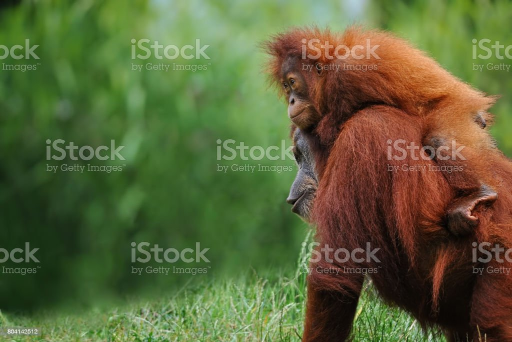 sumatran orangutans stock photo