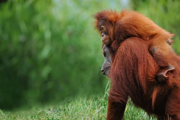 sumatran orangutans orangutan mother with child in nature island of borneo stock pictures, royalty-free photos & images