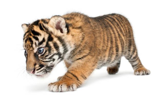 Sumatran tiger cub panthera tigris sumatrae 3 weeks old walking in picture id877336730?b=1&k=6&m=877336730&s=612x612&w=0&h=vsa1vw7waqstcj85m6xo4h9 z8yujr5tndiprtlnjla=