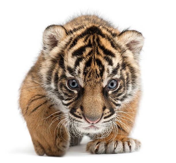 Sumatran tiger cub panthera tigris sumatrae 3 weeks white background picture id119717127?b=1&k=6&m=119717127&s=612x612&w=0&h=x5xpgklzyxknffrzui1r9qnflzf h znyshupfa1stg=