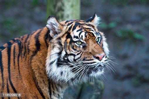 istock Sumatran tiger 1135209318