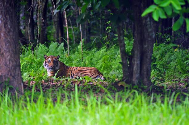 Sumatran tiger picture id1181122463?b=1&k=6&m=1181122463&s=612x612&w=0&h=v64zskqhovuffwqvxbefabyl8xnrtiwhrohdw6gmd2u=