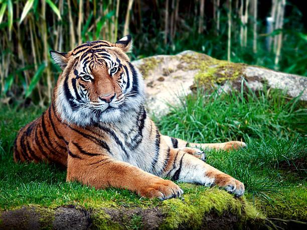 Sumatran tiger picture id466068924?b=1&k=6&m=466068924&s=612x612&w=0&h= zl7q i17td7aajwh kswkewgyjs 99szpq33jfgkwa=