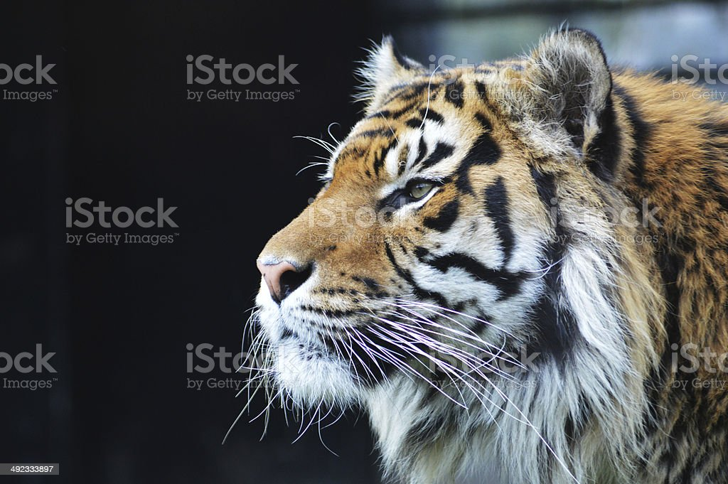 Sumatran Tiger royalty-free stock photo