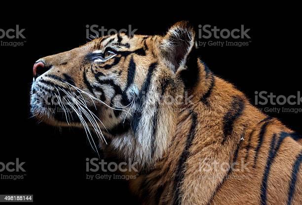 Sumatran tiger picture id498188144?b=1&k=6&m=498188144&s=612x612&h=zqgtrkx08czecqlnhdrogfiqvq8qrcgx0rarth9 rse=