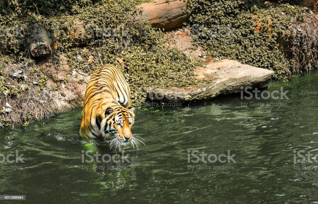 Sumatran tiger walking in to river while looking straight forward. stock photo