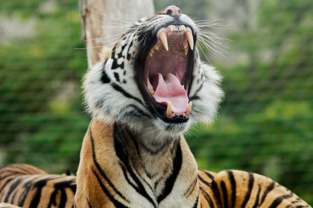 Sumatra Tiger Gähnen mit einem natürlichen Hintergrund – Foto