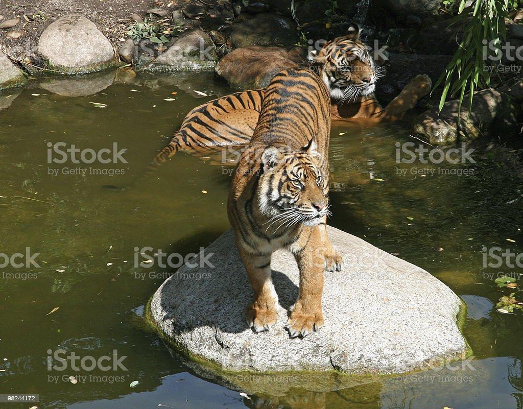 Sumatran Tigers royalty-free stock photo