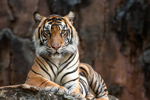 sumatrean tiger - big cat stock pictures, royalty-free photos & images