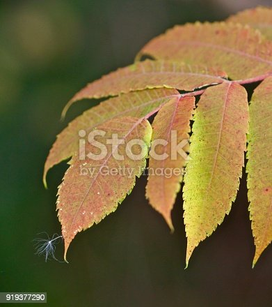 A floating seed lights on the tip of autumn colored leaves.