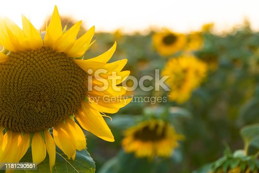 In a sunny day, in sunset, sun flowers in sunflowers field. End of summer, last sunflowers in field.