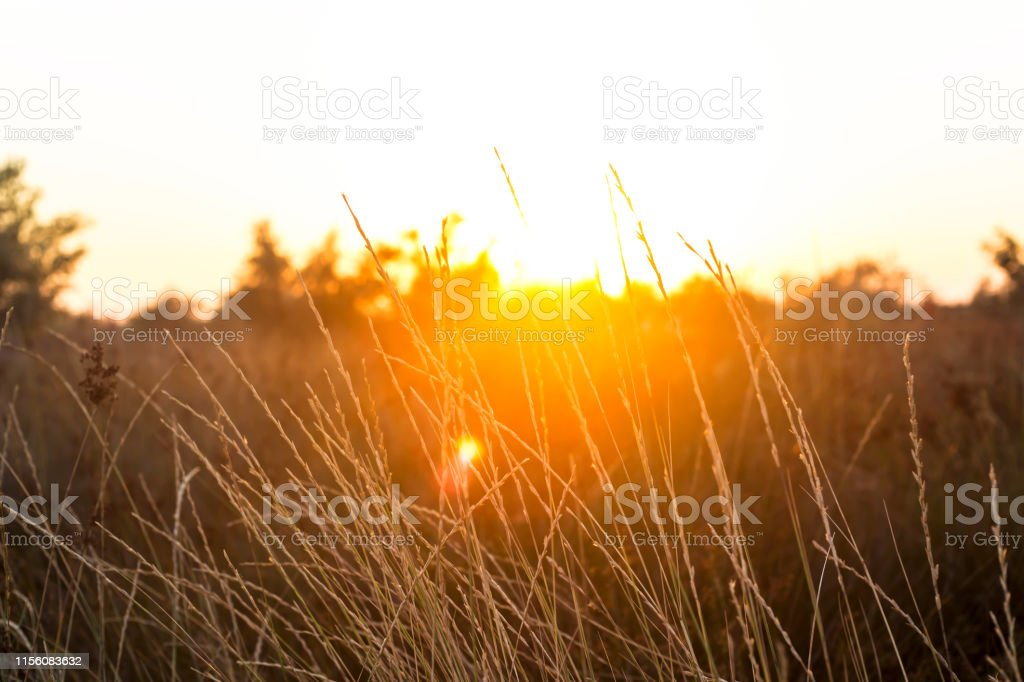 Dry yellow tall grass spikelets on the beach by the sea in bright...