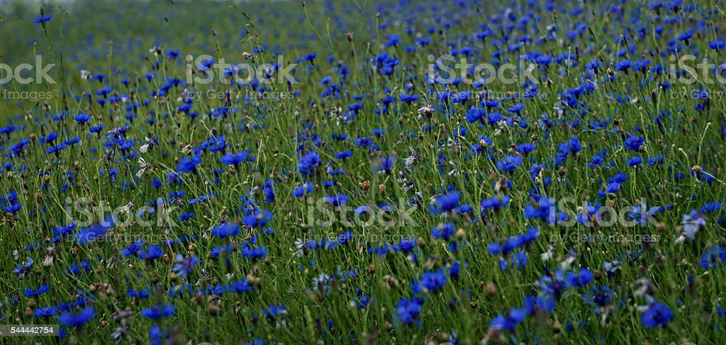 Summer background, blue cornflower,wildflowers cornflowers stock photo