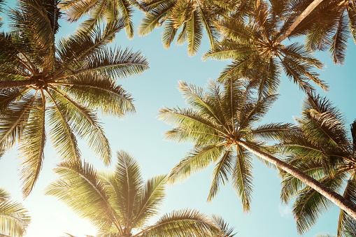 Low angle view of tropical palm trees over clear blue sky background with copy space