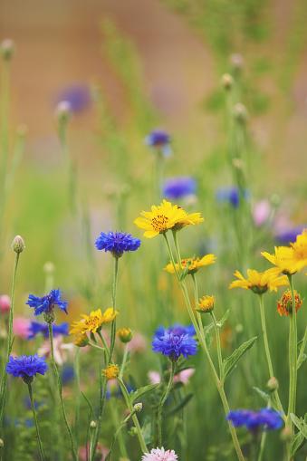 Summer background of wildflower meadow
