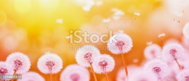 Summer background with fluffy dandelion flowers and flying seeds in sunny lights. Beautiful nature landscape of evening floral field. New life, dreaming, beauty and freedom concept.
