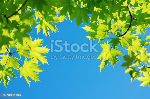 Bright leaves of  maple tree against blue sky
