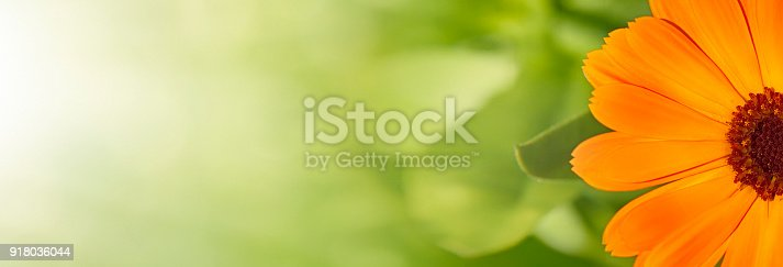 istock Summer background with Marigold flowers 918036044