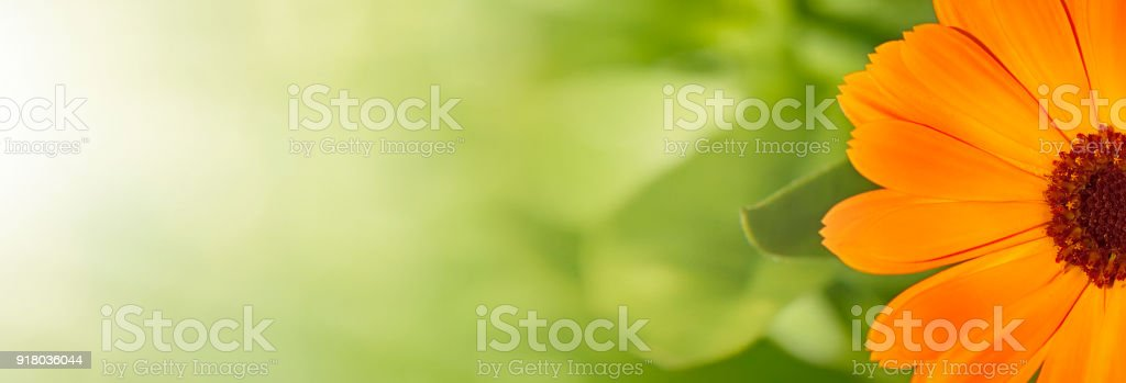 Summer background with Marigold flowers stock photo