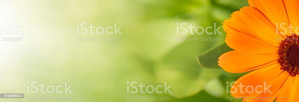 Fundo de verão com flores de calêndula - foto de acervo