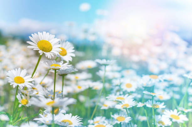 Summer background with wildflowers. stock photo