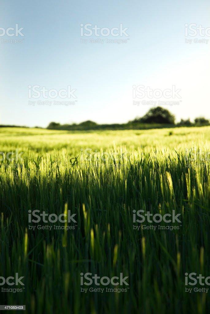 Summer Barley Field royalty-free stock photo