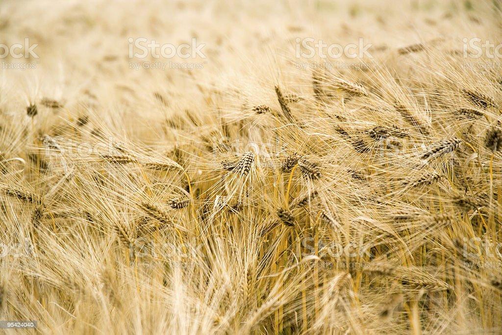 Summer barley field,close up royalty-free stock photo