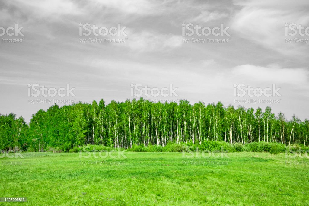 summer birch forest and field with black and white sky