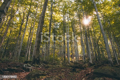 Summer birch forest in the north of Bohemia. Diverse biodiversity of the Czech country. The sun's rays penetrate through a wall of green leaves. Livelihood for smaller plants.
