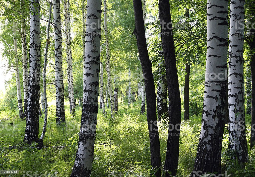 summer birch forest royalty-free stock photo