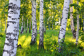 scene in summer birch woods - Russia