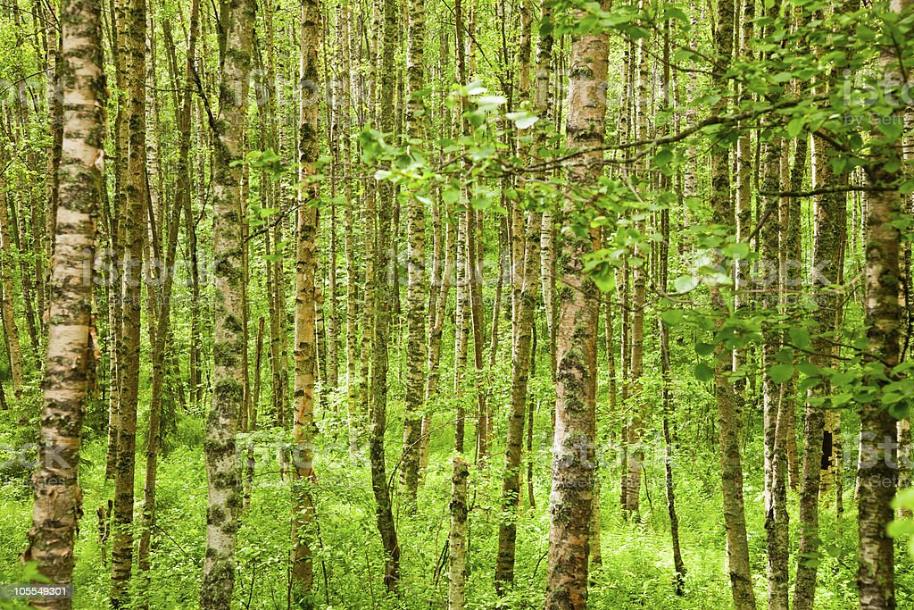 Summer birchwood royalty-free stock photo