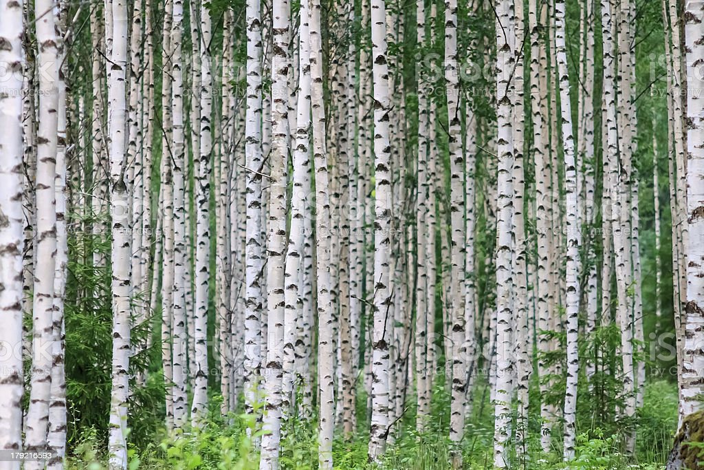 Summer Birchwood stock photo