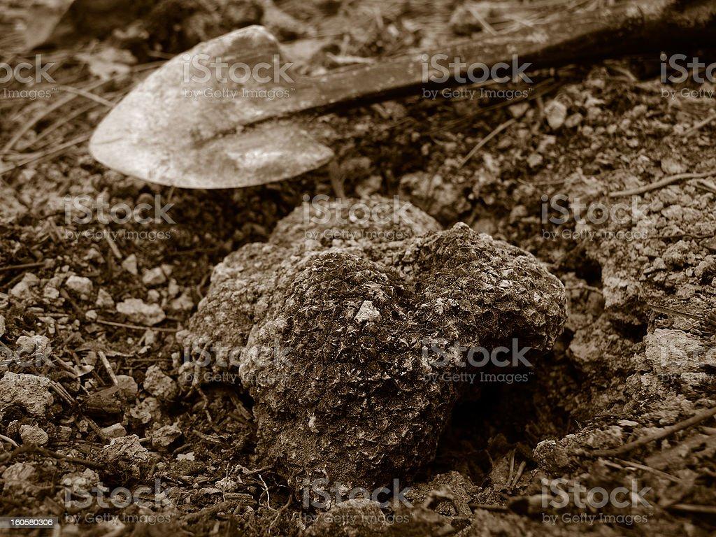 summer black truffle (Tuber aestivum) stock photo