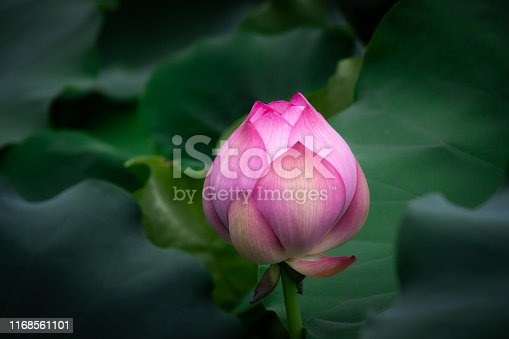 Summer blooming lotus in the lake