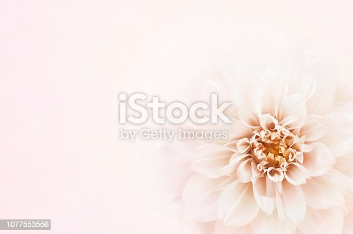 Summer blossoming delicate rose and dahlia on blooming flowers festive background, pastel and soft bouquet floral card, selective focus