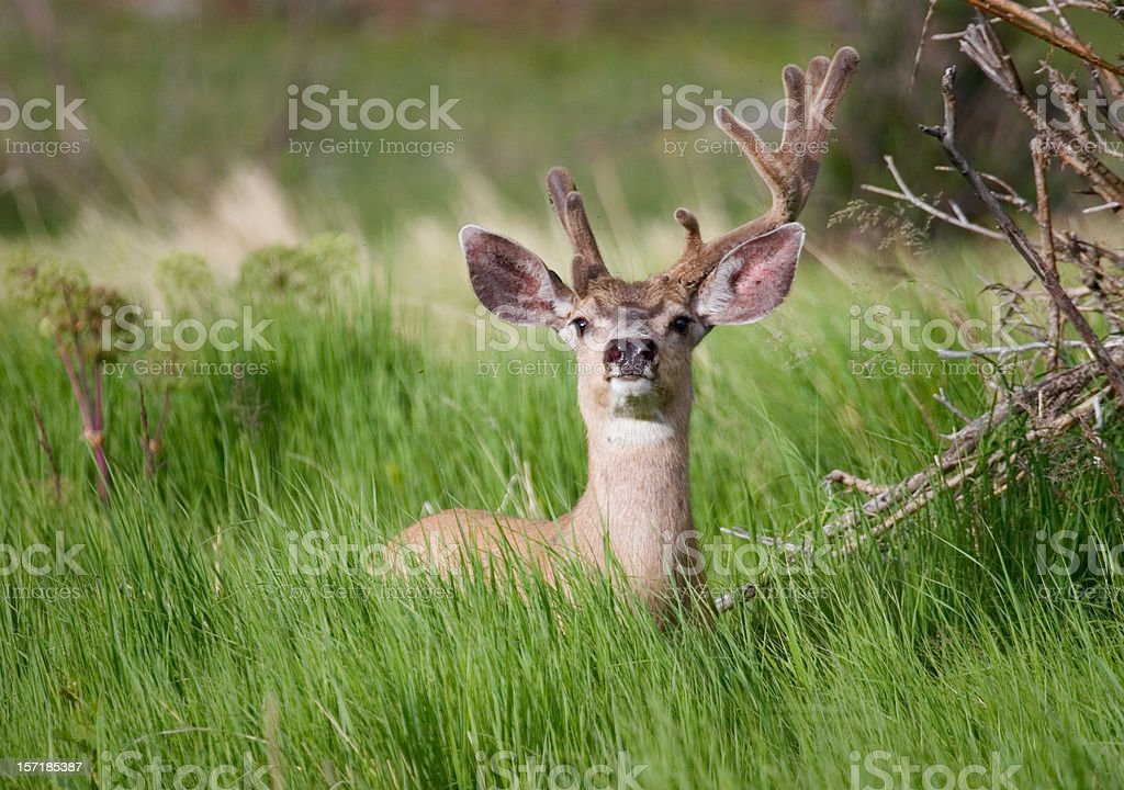 Summer Buck royalty-free stock photo