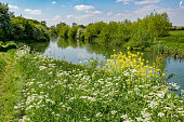 It is the River Thames in Oxfordshire. There is rich green vegetation, and yellow and white flowers in the foreground.