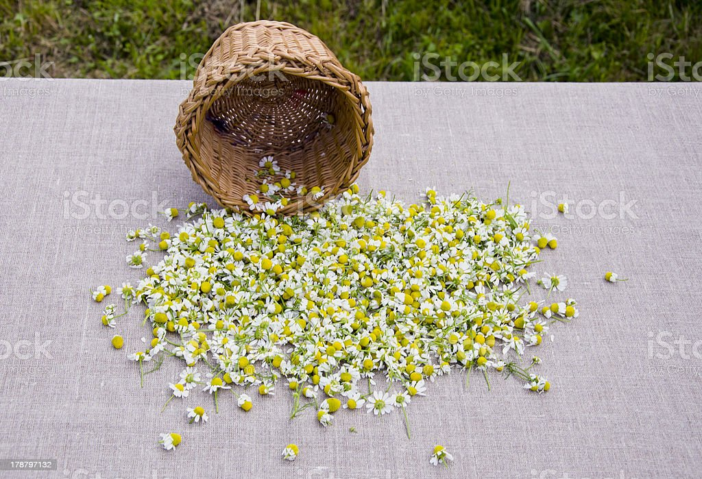 summer camomile blossoms on linen cloth royalty-free stock photo