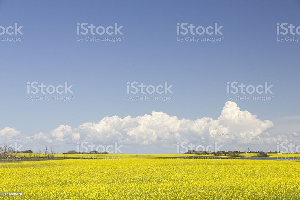 Summer Canola Field and Clouds royalty-free stock photo