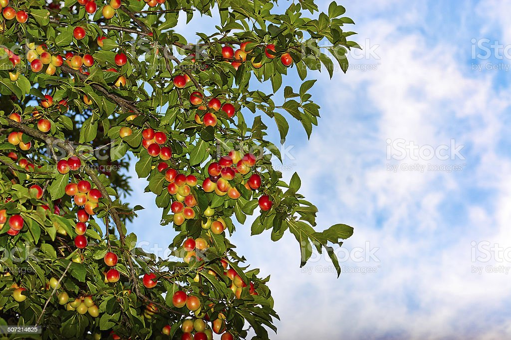 Summer, colorful ripe plum, green leaves, sunny day, blue sky. stock photo