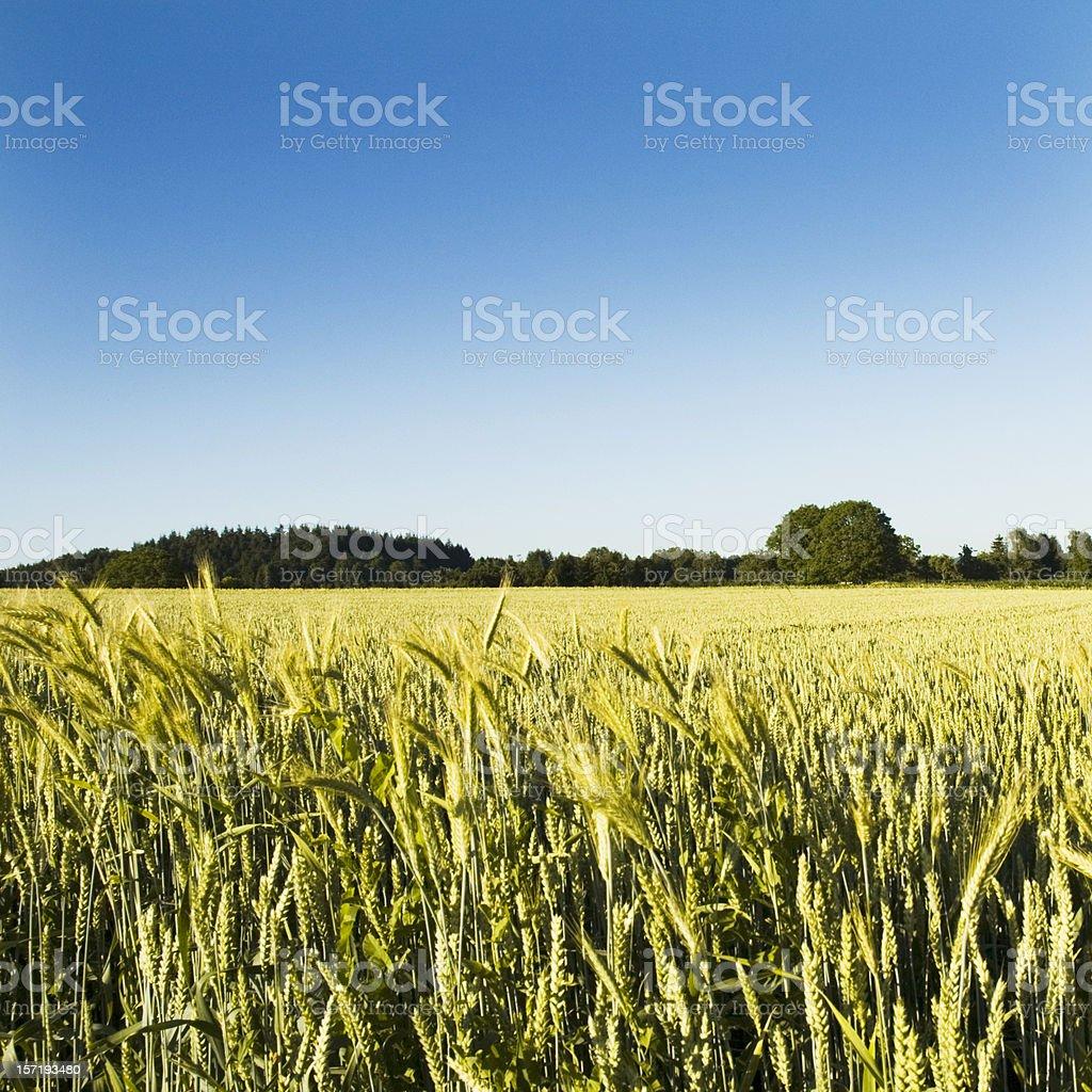 Summer Corn Crops Field royalty-free stock photo