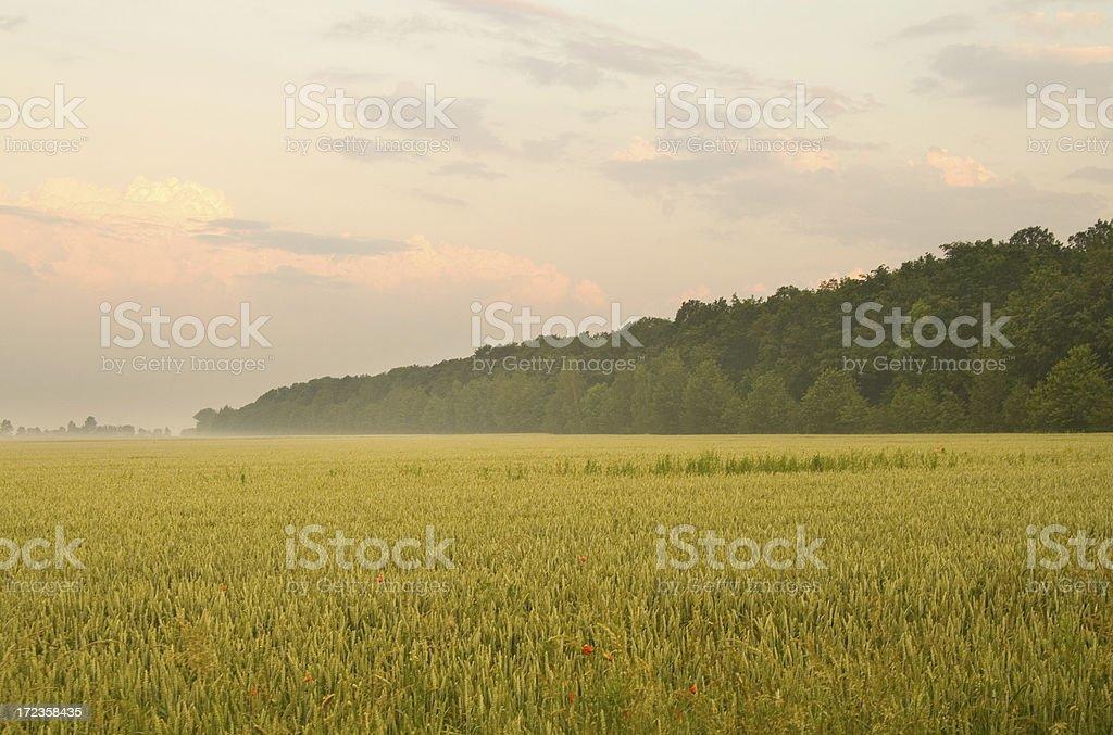summer corn landscape royalty-free stock photo