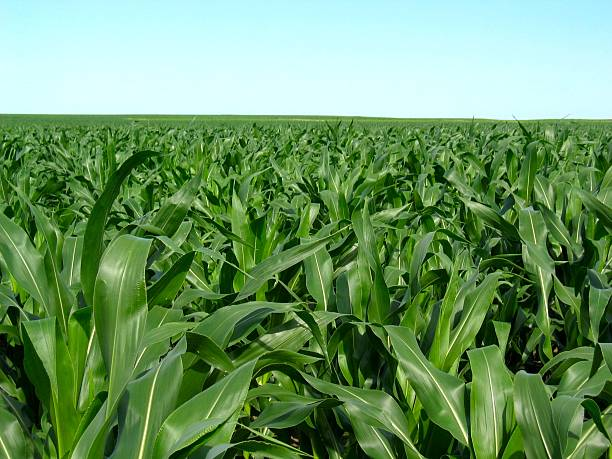 Summer cornfields stock photo
