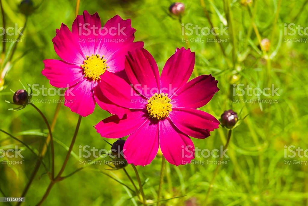 Summer Cosmos flower medley - VI royalty-free stock photo