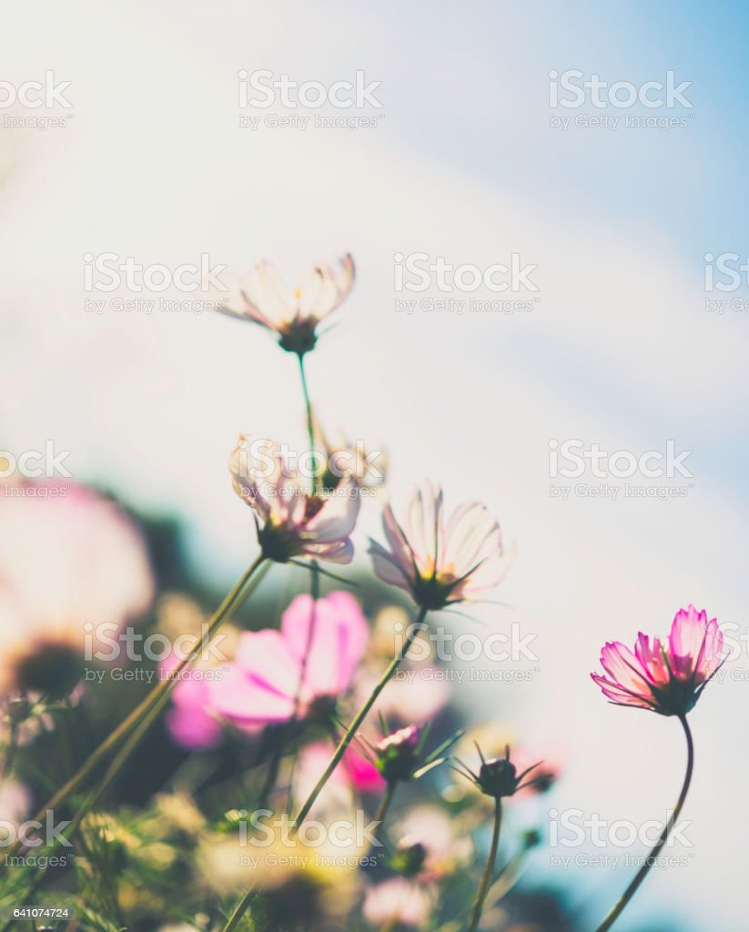 Summer cosmos flowers in full bloom stock photo