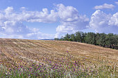 Between Puglia and Basilicata: hilly landscape with cornfields, Italy.