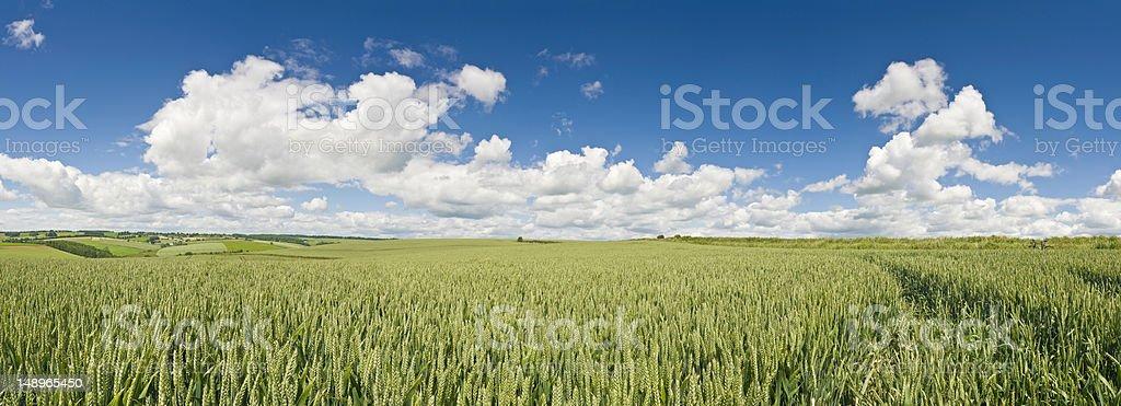 Summer crops green land big blue skies royalty-free stock photo