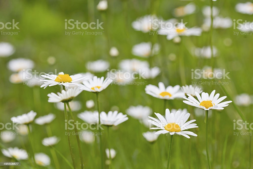 Summer Daisies in a meadow stock photo