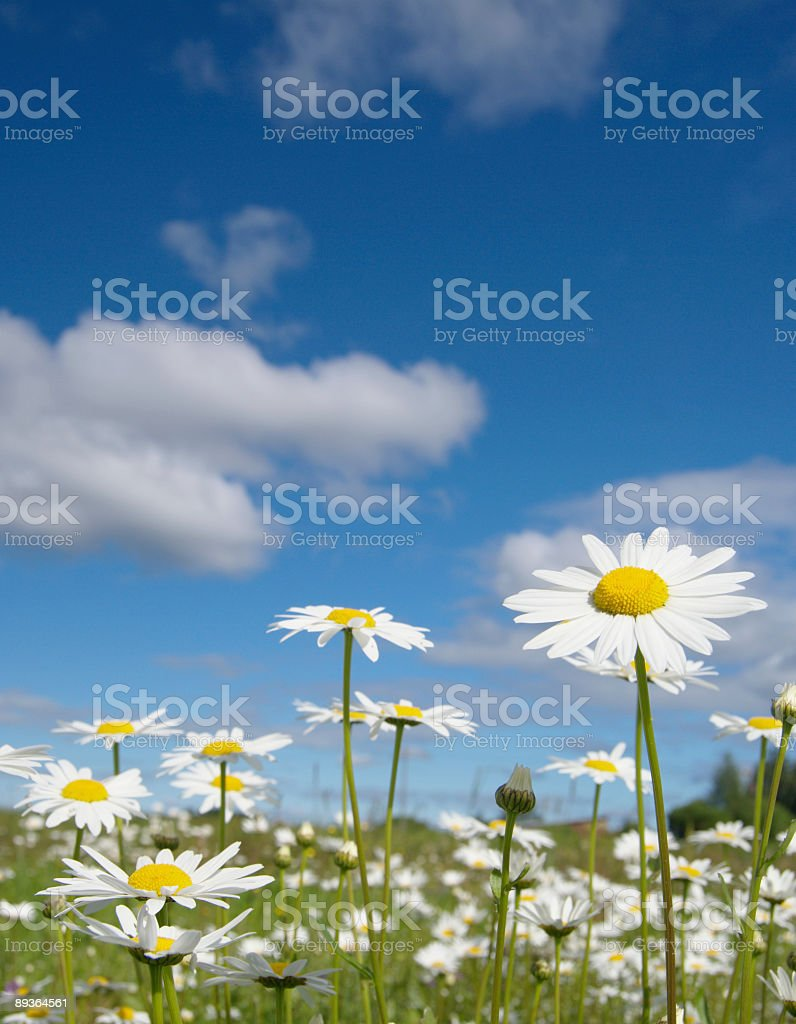 Summer daisy field royalty-free stock photo